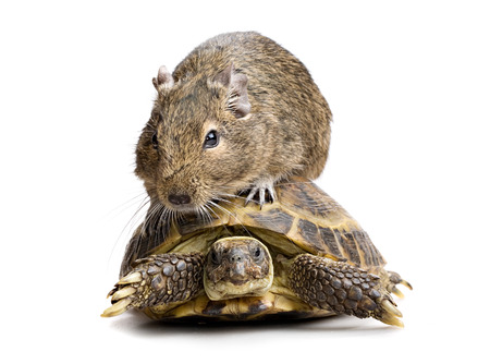 timorous: small rodent riding turtle, full-size front view isolated on white background