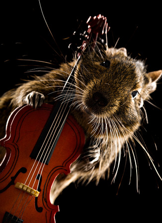 black squirrel: degu pet musician with viola isolated on black background