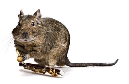 fagot: Muzyk Degu zwierzę z fagot na białym tle Zdjęcie Seryjne