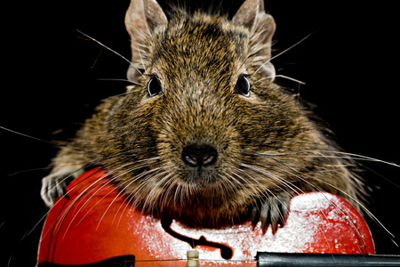 violoncello: funny degu rodent playing violoncello on black background