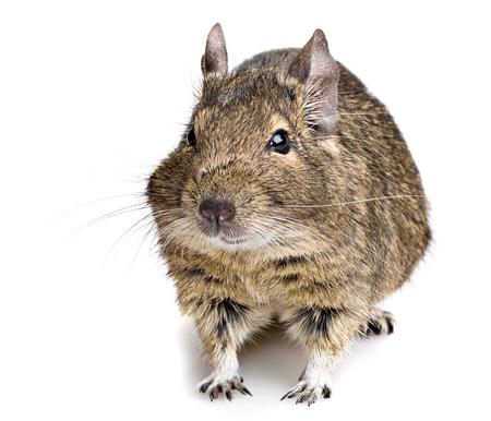 chunky: degu rodent pet closeup isolated on white Stock Photo