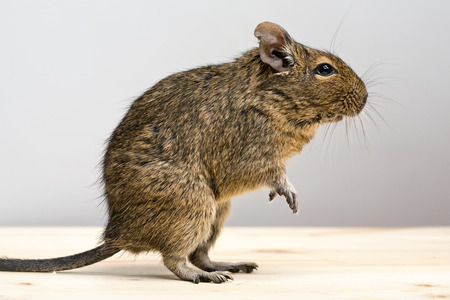 snouts: cute degu rodent standing in profile closeup view