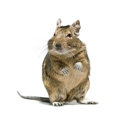 animal sad face: degu rodent pet with tear in eye, full-length closeup isolated on white background Stock Photo