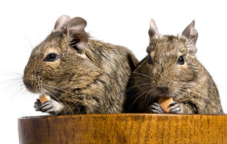 hamster: two funny degu rodents sitting in wooden bowl with nuts in paws