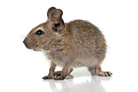 closeup view: cute small baby rodent degu pet full size closeup view isolated on white