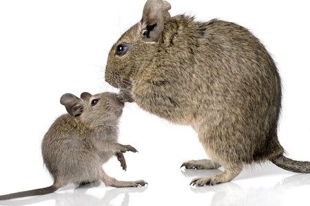 cute small baby rodent degu pet with its mom closeup view isolated on white Stock Photo