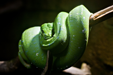 coiled snake: big green snake coiled up on dark background