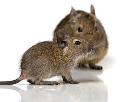 cute small baby rodent degu pet with its mom closeup view isolated on white Reklamní fotografie