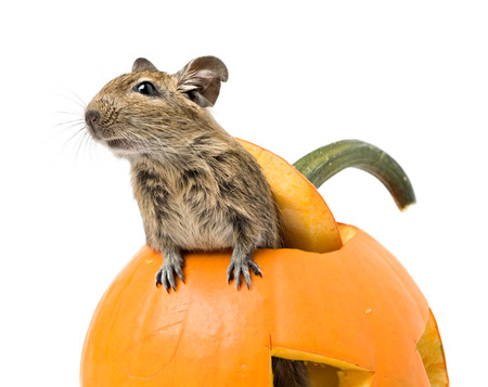 'hide out': Halloween pumpkin with funny mouse inside isolated on white