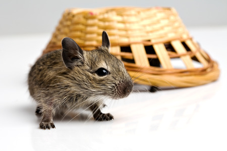 closeup view: little baby degu rat with basket closeup view on neutral background