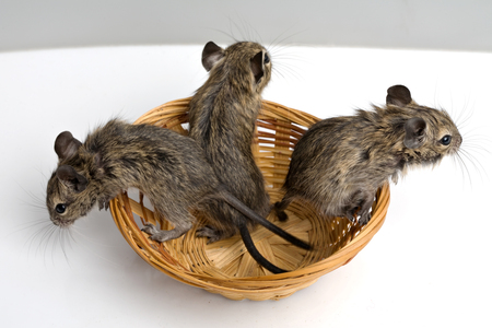 closeup view: three little baby degu rats in the basket closeup top view on neutral background