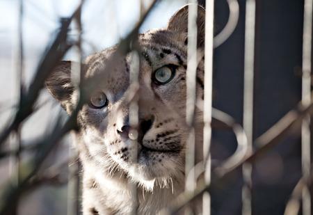 snout: snow leopard snout closeup front view in outdoor zoo
