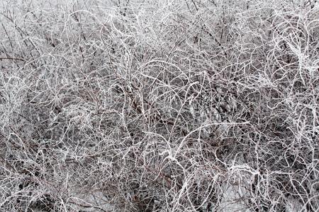 bushy: white rime on black bushy branches winter pattern