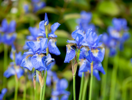 iris blueflag flowers  close-up on blurred green outdoor background
