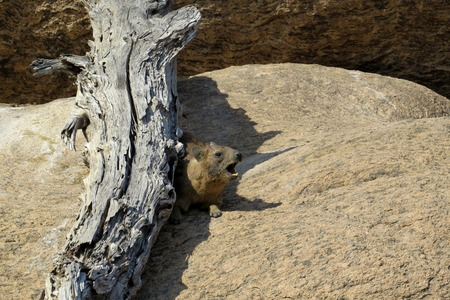 snag: the wild African hamster sits under a snag Stock Photo