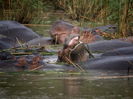 graze: African hippos graze on the open spaces of South Africa