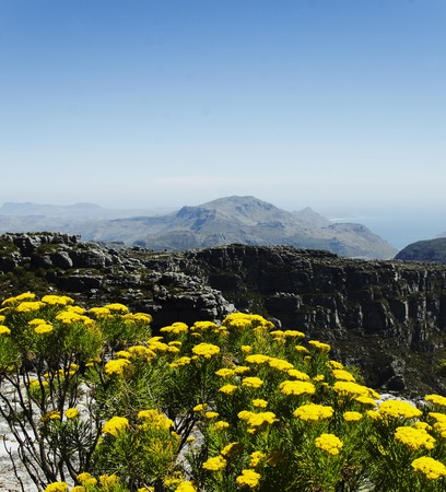 Yellow flowers on the top of Table Mountain in Cape Town, South Africa, selective focus