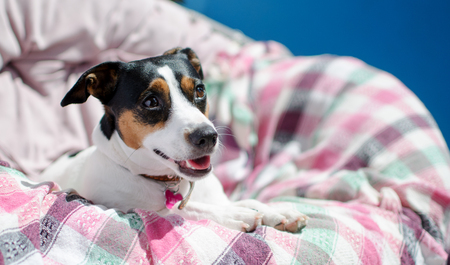 small dog jack russell terrier sits, light key selective focus Stock Photo