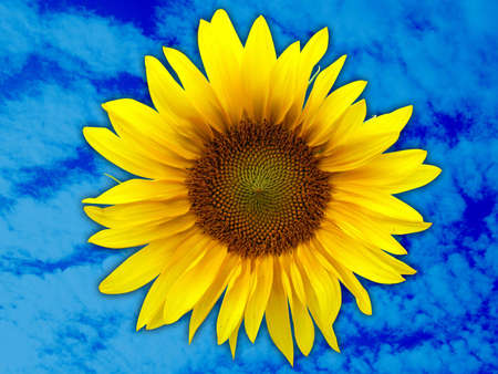 Sunflower with clipping path Stock Photo - 770502