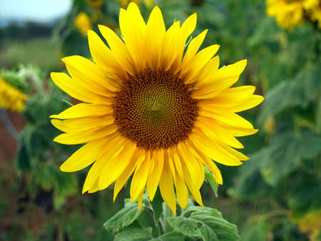 Sunflower Stock Photo - 770505