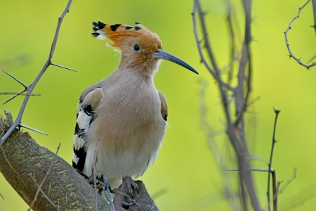 coraciiformes: A Common Hoopoe perching on a branch