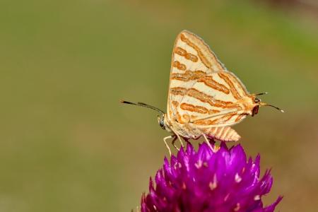 silverline: A Common Shot Silverline Butterfly feeding on a flower Stock Photo