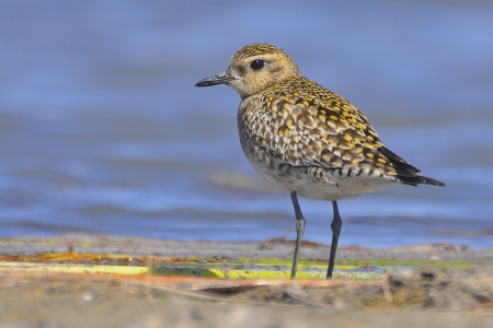 pluvialis: A Pacific Golden Plover taking a breather on the banks of a lake