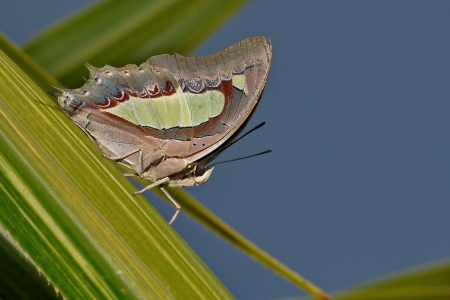 anomalous: Anomalous Nawab or Common Nawab Butterfly