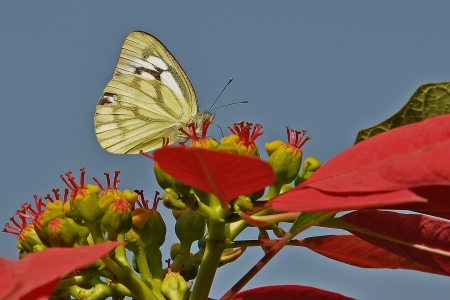 pieridae: Pioneer White or African Caper White Butterfly