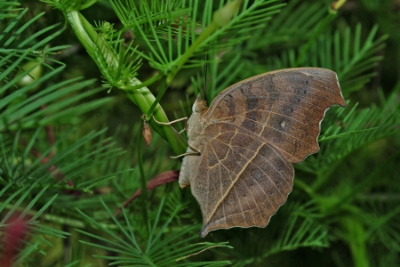 insecta: Leaf-mimicking Butterfly