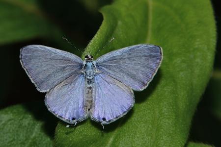 lesser: Lesser Grass Blue Butterfly