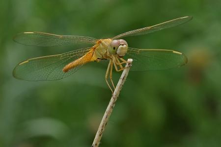 darter: Ruddy Marsh Skimmer Dragonfly OR Scarlet Skimmer OR Crimson Darter