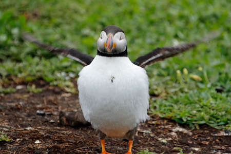 Atlantic puffins on the cliffs and shore of the Farne islands in the UK Imagens