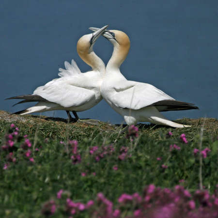 Northern gannets soaring above the cliff tops