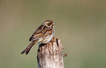 Reed bunting searching for food for its chicks