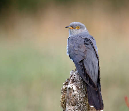 Male cuckoo displaying and collecting food