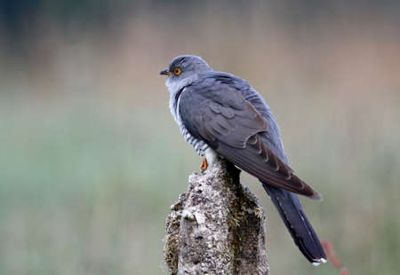 Male cuckoo displaying and collecting food Stock Photo