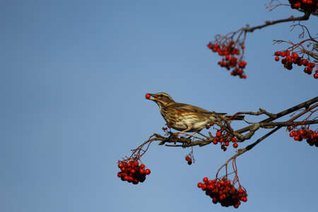 Redwings collecting winter berries Banque d'images