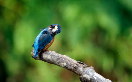 Kingfisher perching, preening and fishing on the river bank Banque d'images