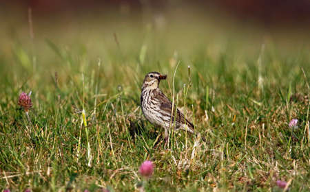 Meadow pipit collecting food for its young 免版税图像