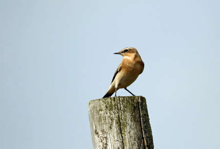 Northern wheatear perched on the moors