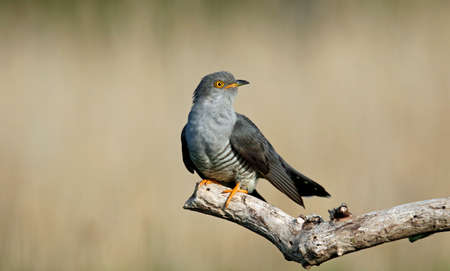 Male cuckoo feding and displaying for females