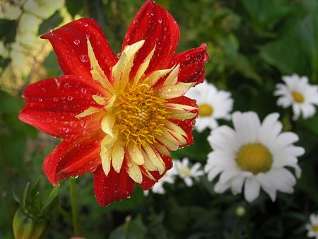 daisys: Red-yellow flowers like a dahlia with drops of water (on white daisys background) Stock Photo