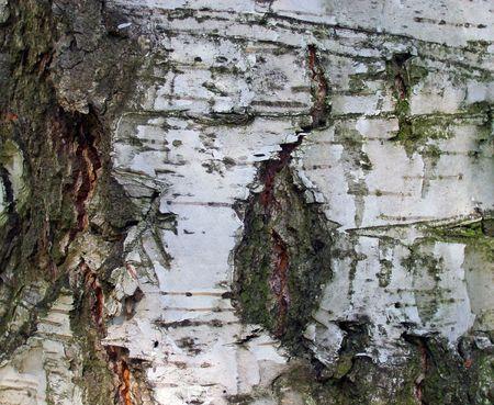 birchen: Bark of the birch