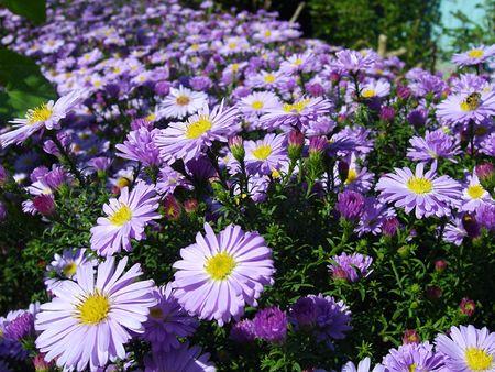 magenta flowers: Autumn magenta flowers (flower-bad) Stock Photo