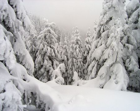 winter mountain rough and fog landscape with big frozen snow-covered  fir-trees (altitude - 1500m)