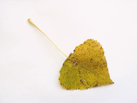 asp: Autumn yellow leaf of asp on white background with shadow