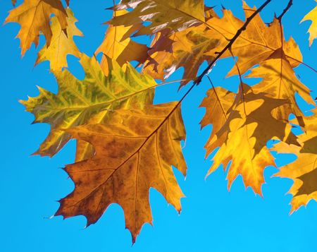 Autumn colourful foliage of oak (some translucent across a sun) on blue serene sky background Stock Photo