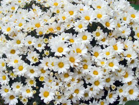blossoming bush of hrizantemum, like a small white daisys