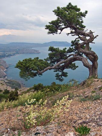 Zee landschap met kwastig krom pine-boom op de berg op voorgrond, en Sudak kust op de achtergrond (maken van Sokol Rock, Novyj Svit reserve, de Krim, Oekraïne) Stockfoto
